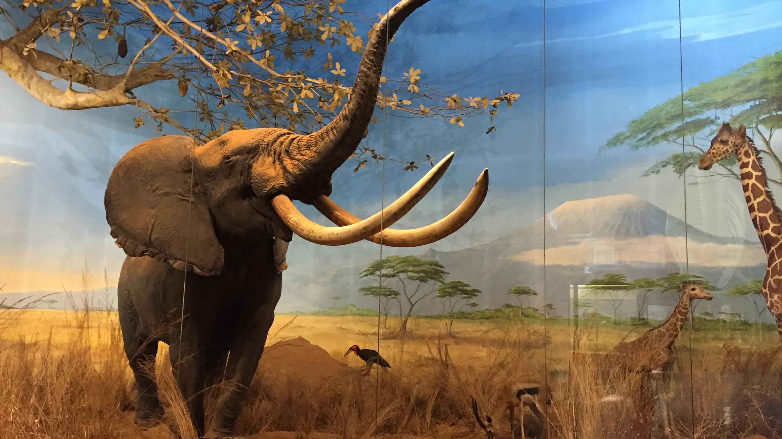 Savane au musée Milan
