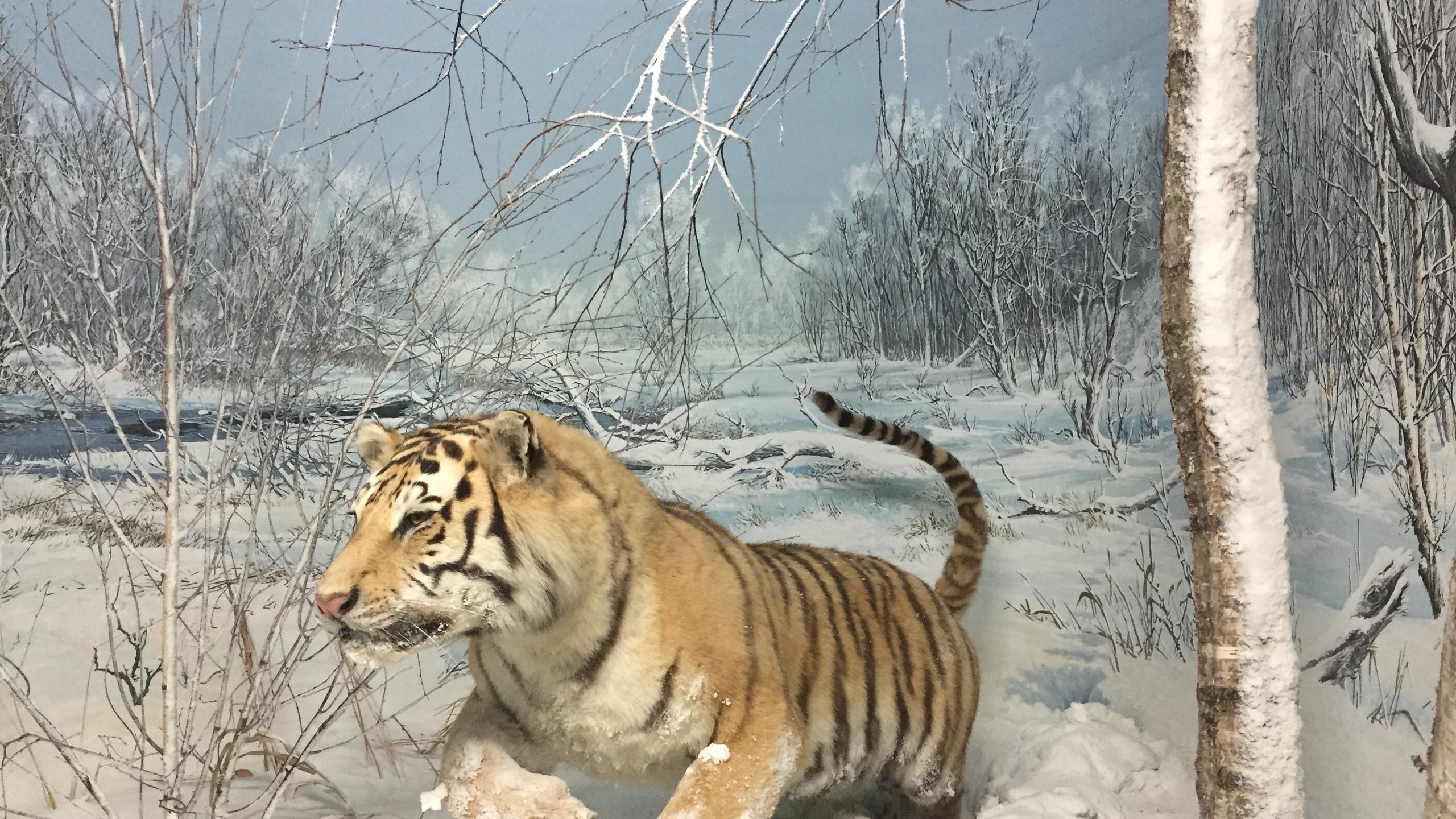 Tigre au musée d'histoire naturelle
