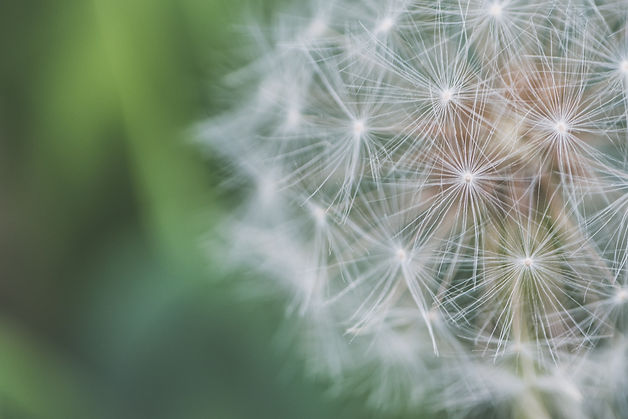 close-up-photo-of-dandelion-1118427.jpg