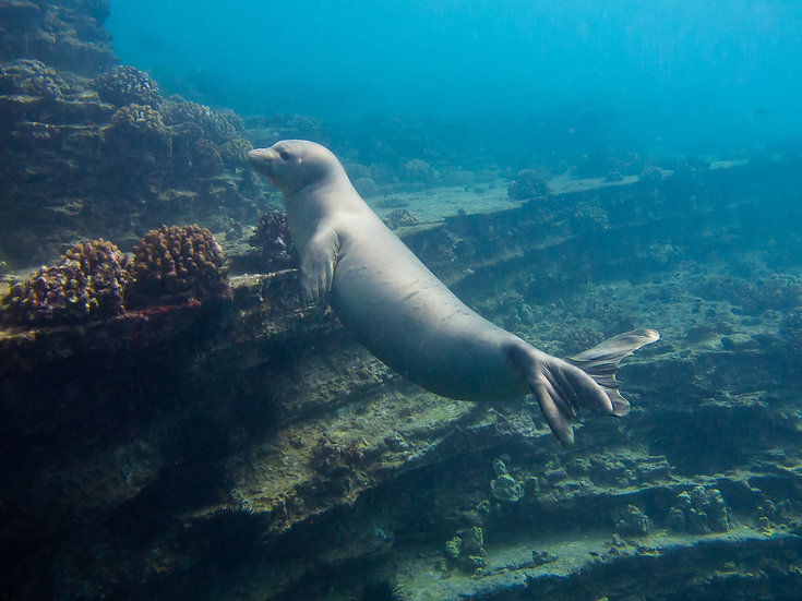 Young Monk Seal