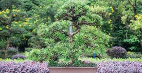 Top 5 árvores de Bonsai para o interior de casa.