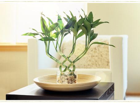 Lucky Bamboo (Bambu da Sorte) Guia de Cuidados: Dicas e Fatos Sobre Crescimento
