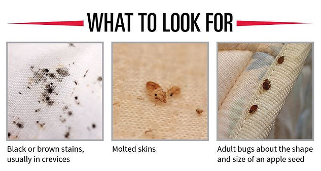 What to look for bedbugs jpg.