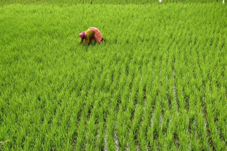 Paddy farmers to sell Rice