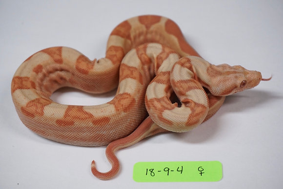 18-9-4 Female Sunglow Motley 100% Het Blood