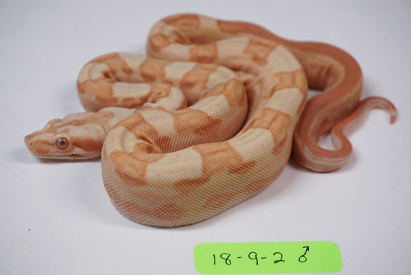 18-9-2 Male Sunglow Motley 100% Het Blood
