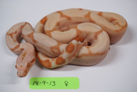 18-9-13 Female Probable Super Sunglow 100% Het Blood