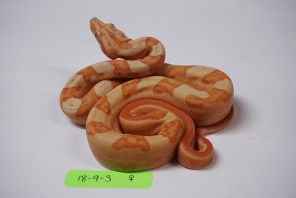 18-9-3 Female Sunglow Motley 100% Het Blood