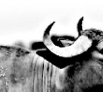 オランダ水牛