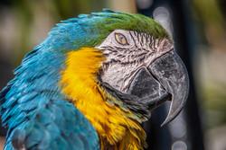 Blue Yellow Macaw (2)