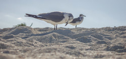 Seagulls (2)