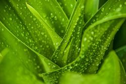Wet Leaves (2)
