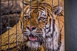 Tiger 8-2