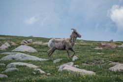 Mountain Goat 2-2