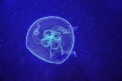 Jellyfish (2)