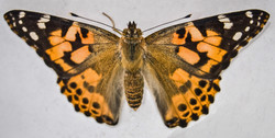Painted Lady Butterfly (3)