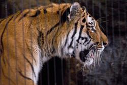 Tiger 7-2