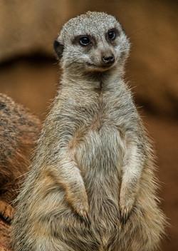 Meerkat 2-2