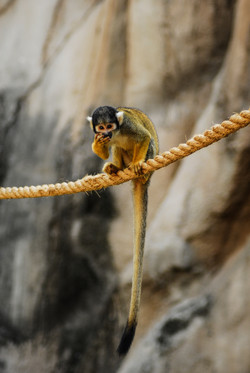 Spider Monkey-2