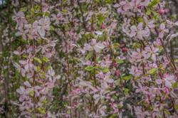 Cherr Blossom