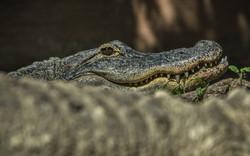 Alligator (9)