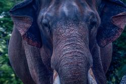 Indian Elephant 6-2