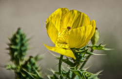 CactusFlower (2)