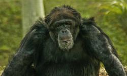 Chimpanzee-2