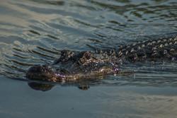 Alligator (7)