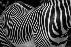 Zebra 3-2