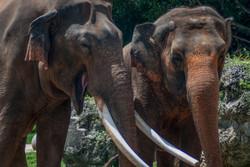 Indian Elephant 4-2