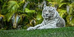 Tiger 5-2
