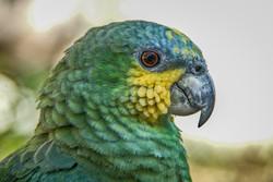 Amazon Parrot (2)