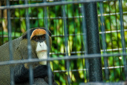 DeBrazza Monkey-2