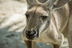 Kangaroo-2