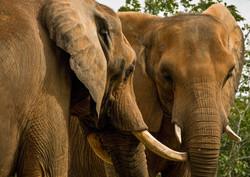 Indian Elephant-2