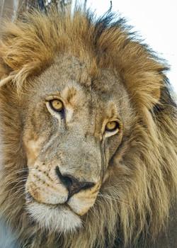 Lion 3-2