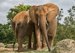 Indian Elephant 2-2