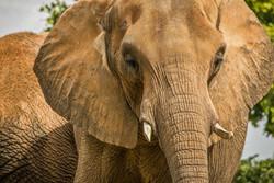Indian Elephant 3-2