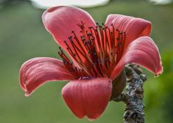 Red Silk Cotton (3)