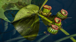 Water Lily (5)