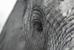 Elephant 4-2