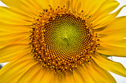 Sunflower (3)
