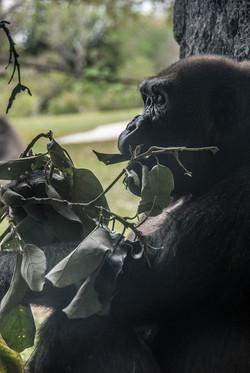 Gorilla 4-2