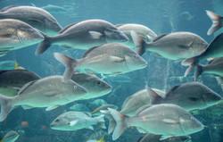 School of Fish (4)