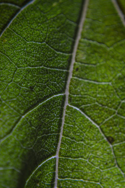 Leaf (4)
