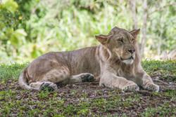 Lion 5-2