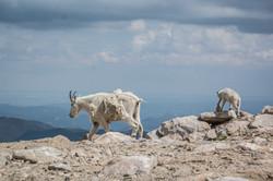 Mountain Goat-2