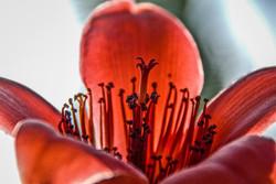 Red Silk Cotton (2)