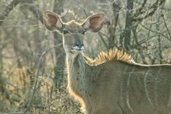 Great Kudu 3-2